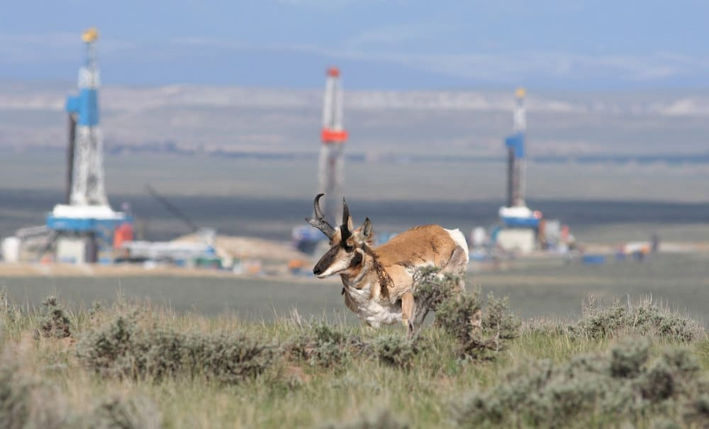 Pronghorn on Pinedale Anticline