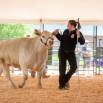 An FFA member leads her cow around the show ring.