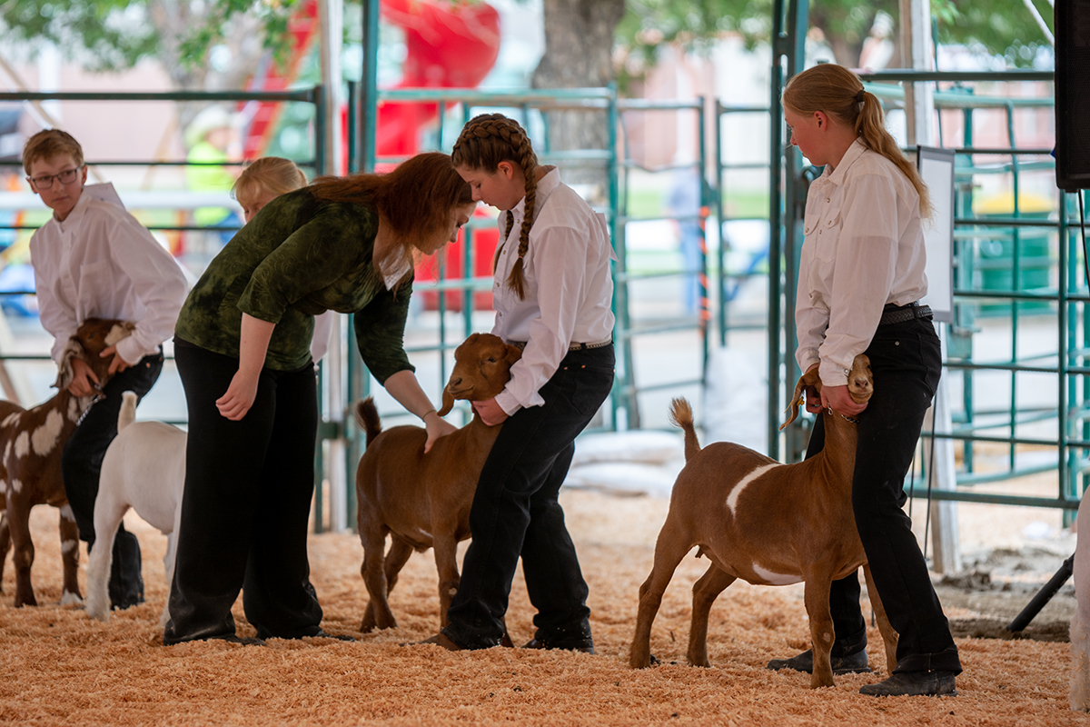 The market goat judge thoroughly feels the muscle content on each goat during the Market Goat Show.