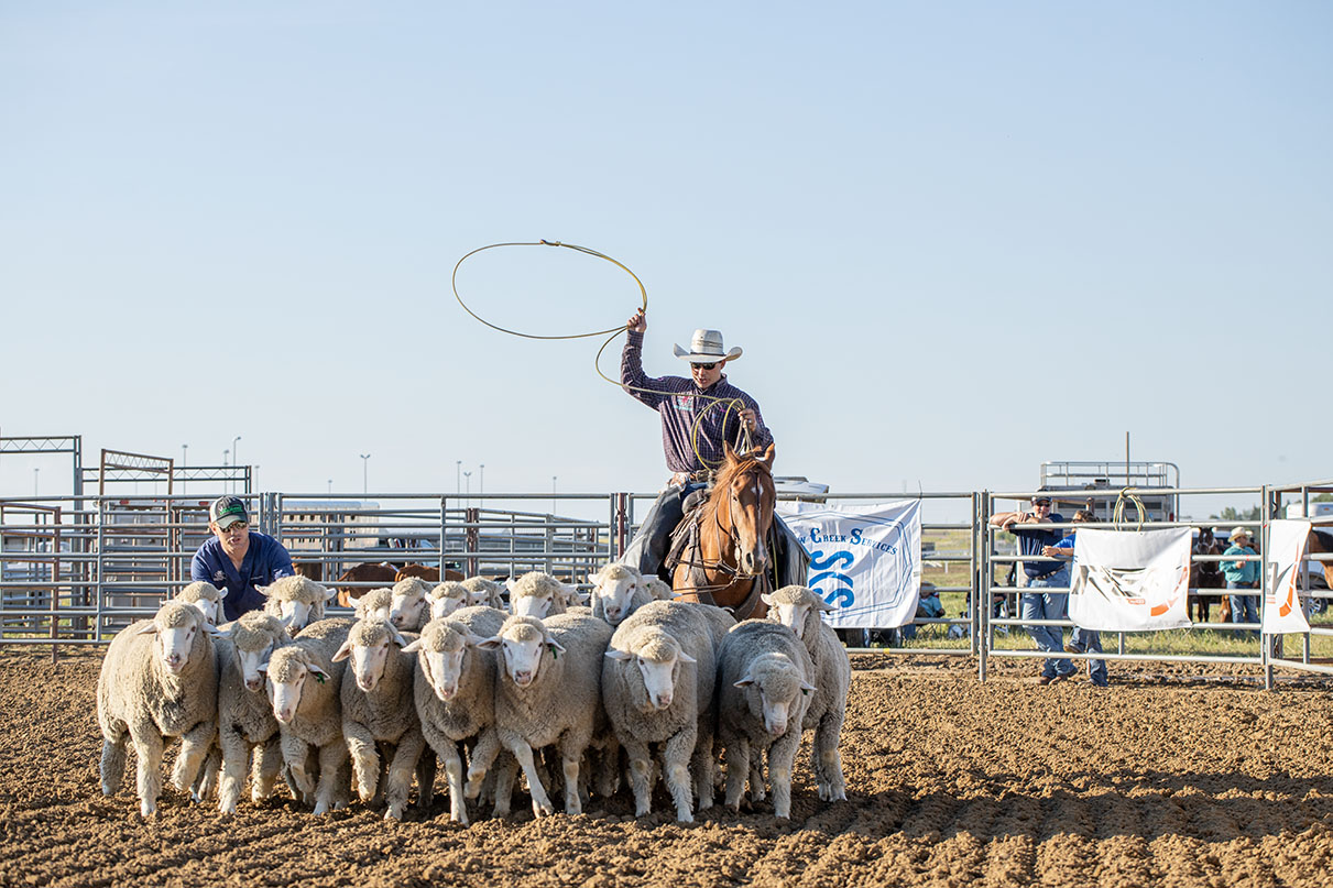 A pick-up rider rounds up the sheep for Mutton Bustin'.