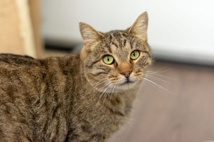 Kermit is an adoptable cat at the City of Gillette Animal Shelter.