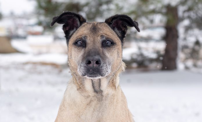 Dakota is an adoptable dog at the City of Gillette Animal Shelter.