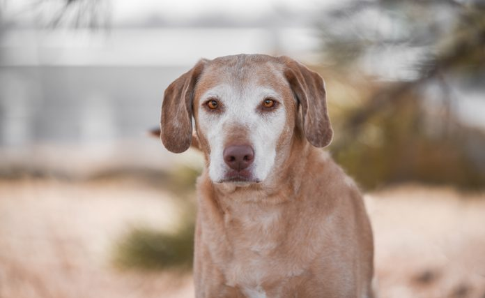 Rummy is a female Labrador retriever mix available for adoption at the City of Gillette Animal Shelter.