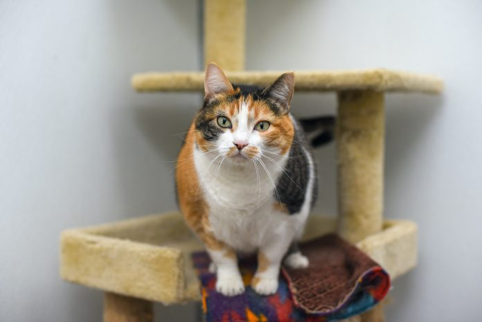 Mia is an adoptable cat at the City of Gillette Animal Shelter. (Photo: County 17/Brooke Byelich)