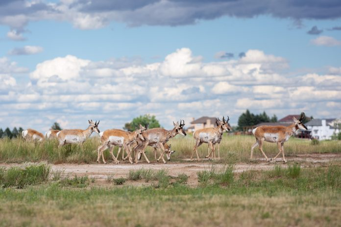 A group of pronghorn gather near a house by the Bell Nob Golf Course. (Photo: County 17 / Brooke Byelich)